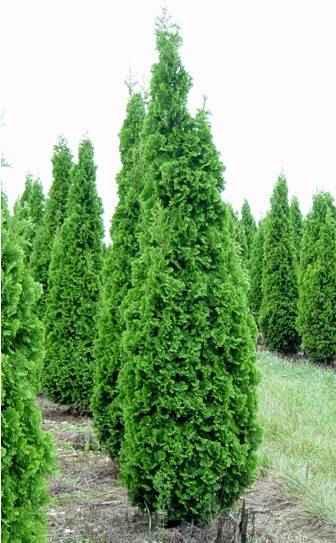 Arborvitae_Degroots_Spire