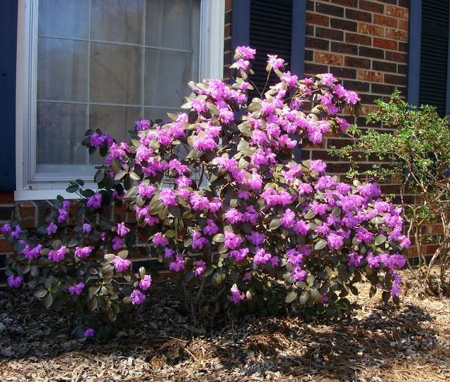 Azalea (lavender)