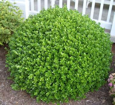 Dwarf english boxwood2