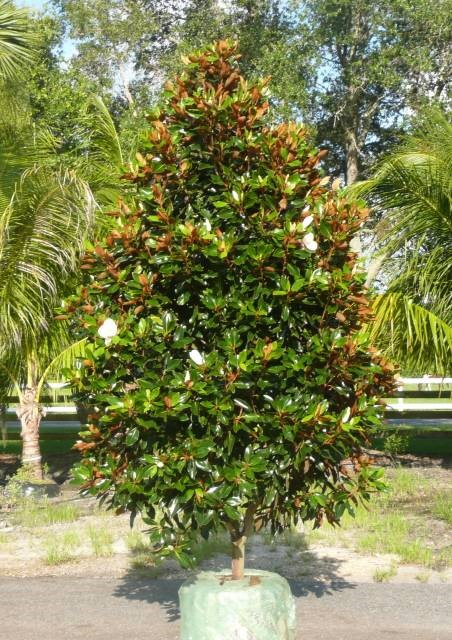 Dwarf southern magnolia 2