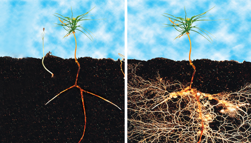 Mycorrhizae_Before_After