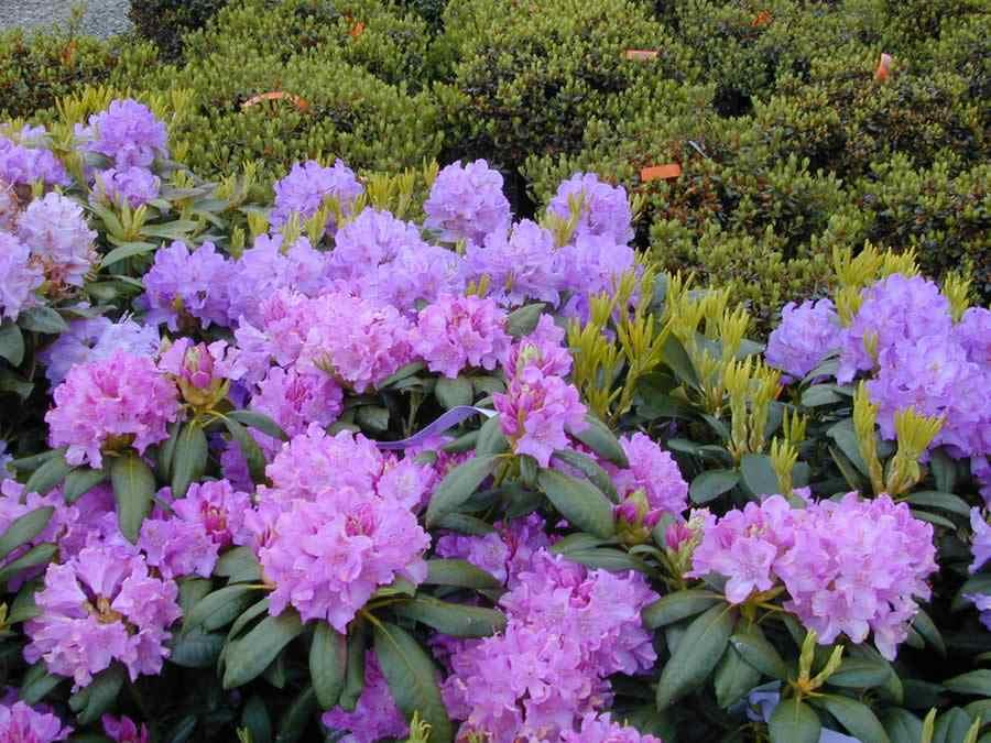 Rhododendron_roseum_elegans_8501