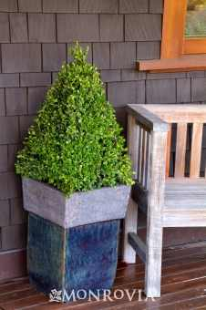 Shapeable winter gem boxwood