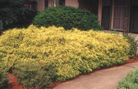 gold mop cypress hedge