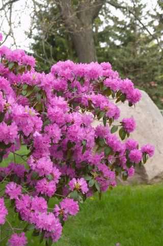 rhododendron-pjm elite